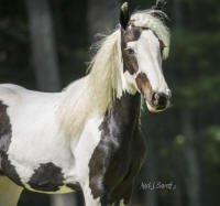 SWF Ruby's Tahitian Pearl, 2014 Gypsy Vanner Horse filly