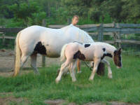 KF Peggy Jeanne, 2008 Gypsy Vanner Horse filly