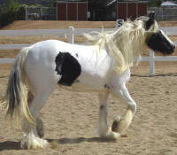Peggy Sue, 2004 imported Gypsy Vanner Horse mare
