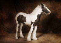 Black Jack Penelope, 2008 Gypsy Vanner Horse filly