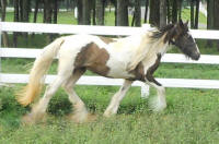 Penny,2008 imported Gypsy Vanner