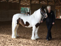 Phoebe, 2002 imported Gypsy Vanner Horse mare