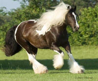 WR Pie, 2001 imported Gypsy Vanner Horse mare