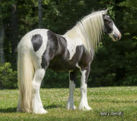 SWF Tia's Princess In Pearls, 2013 Gypsy Vanner Horse filly