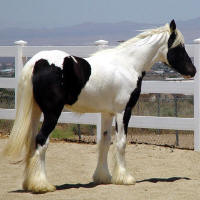 Pixie Rose, 2008 Gypsy Vanner Horse filly