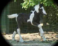 Imperial Playboy, 2005 Gypsy Vanner Horse colt