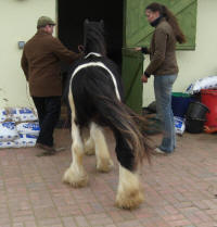 The Pleasure's Mine, 2006 imported Gypsy Vanner Horse stallion