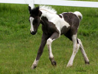 VV Poetry In Motion, 2011 Gypsy Vanner Horse filly
