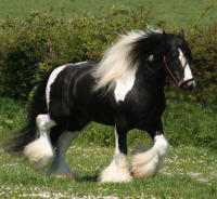 The Producer, Gypsy Vanner Horse stallion