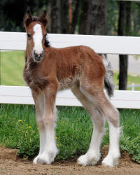 Lexlin Lindie's Promise, 2010 Gypsy Vanner Horse filly