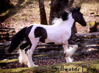SWF Puccini, 2009 Gypsy Vanner Horse colt