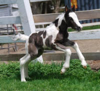 Quality Street, 2009 Gypsy Vanner Horse filly