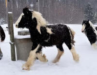 RBF Lady Galway, 2017 Gypsy Vanner Horse filly