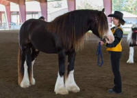 RGR Darkest Knight, 2011 Gypsy Vanner Horse colt
