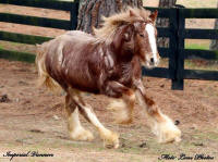Mill Cave Red Dawn, 2014 Gypsy Vanner Horse filly