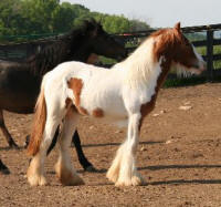 Red Robyn of Rosewater, 2008 Gypsy Vanner Horse filly