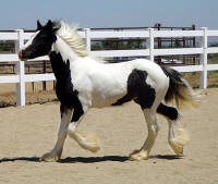 Regal, 2008 Gypsy Vanner Horse colt