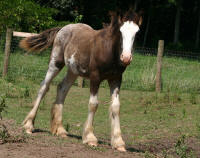 April Reign, 2009 Gypsy Vanner Horse filly