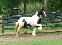 Rexie, imported Gypsy Vanner Horse mare