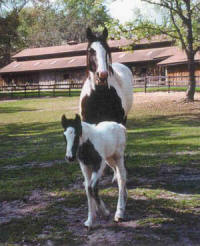 Rexie & Shey, Gypsy Vanner Horse mare & filly