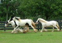 Gypsy Gold's Rexie, 1997 imported Gypsy Vanner Horse mare