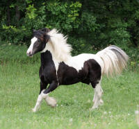 Lake Ridge River Dance, 2008 Gypsy Vanner Horse colt