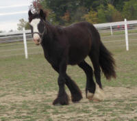 Charock, 2007 imported Gypsy Vanner Horse colt