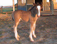 WillowWind Roisin Dubh, 2006 Gypsy Vanner Horse filly