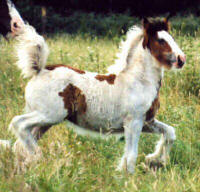 Romantica, imported Gypsy Vanner Horse filly