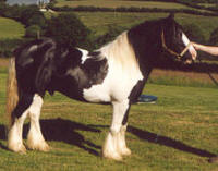 Romany Prince, Gypsy Vanner Horse stallion in the UK