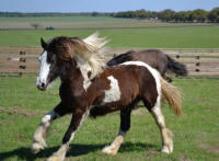 Inver Hills Romany Princess, 2009 Gypsy Vanner Horse filly