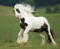 The Rose, imported Gypsy Vanner Horse mare