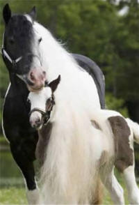 The Queen's Little Rose, 2008 Gypsy Vanner Horse filly