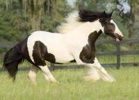 WR Rose Petal, 2005 Gypsy Vanner Horse filly
