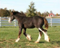 LS Rose Royce, 2007 Gypsy Vanner Horse filly