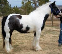 BF Gypsy Rose, 2000 imported Gypsy Vanner Horse mare