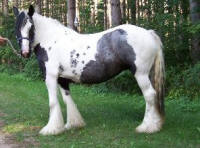 Roxanne, imported Gypsy Vanner Horse mare