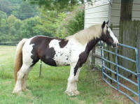 Royal Lady, 2004 Gypsy Vanner Horse mare