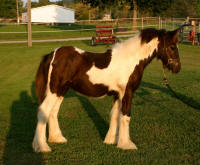 SFG Royal Silver, 2008 Gypsy Vanner Horse colt