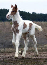 Feathered Gold Ruari, 2009 Gypsy Vanner Horse colt