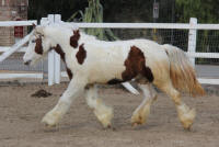 Ruby Sky Maybelline, 2014 Gypsy Vanner Horse filly