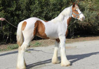 Ruby Sky Player, 2014 Gypsy Vanner Horse colt