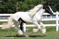 Ruby, 2008 imported Gypsy Vanner Horse filly