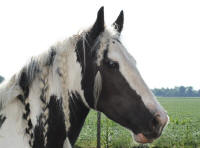 Ruby, 2001 imported Gypsy Vanner Horse mare