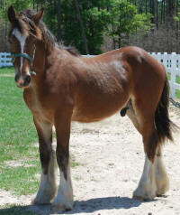 BHGV Rusty, 2007 Gypsy Vanner Horse colt