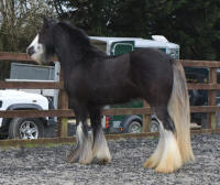 SD Cartier, 2013 Gypsy Vanner Horse filly