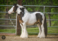 Cedar Creek SD Murphy, 2005 imported Gypsy Vanner Horse stallion