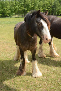 SD Royal Crown Derby, 2014 Gypsy Vanner Horse filly