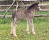 SRS colt, 2016 Gypsy Vanner Horse foal