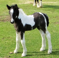 SRS Show Stopper, 2016 Gypsy Vanner Horse filly
